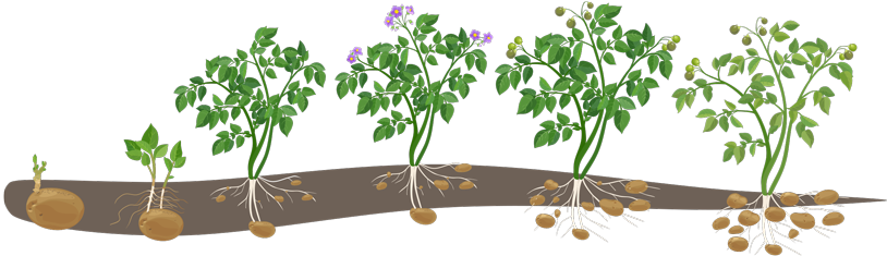 cartoon displaying how potatoes grow from a spud to a fully bloomed and rooted plant