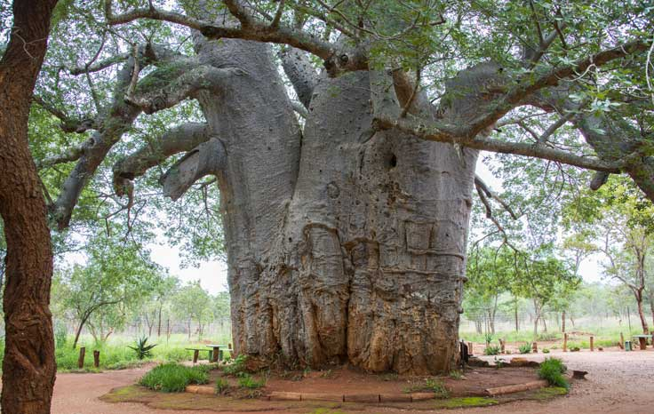 What is the Oldest Tree in the World? - Cooks Home Center