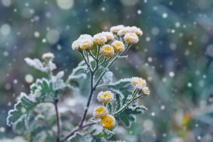 flowers with frost without petals, in an article about winter gardening tips